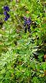 Aconitum napellus ssp. compactum (2).JPG