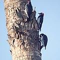Acorn woodpeckers (30733004921).jpg
