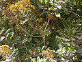 Acrisione denticulata 0712.jpg