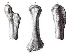 Actiosaurus - Actiosaurus gaudryi humerus (anterior view), Sauvage (1883).