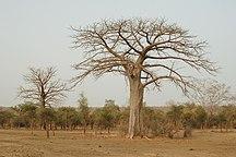 Niger (land)-Bezienswaardigheden-Adansonia digitata 2006-03-03