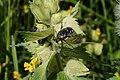 Admont-Krumau - Nationalpark Gesäuse - Trauer-Rosenkäfer (Oxythyrea funesta) auf Zottigem Klappertopf (Rhinanthus alectorolophus).jpg