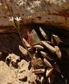 Adromischus triflorus B.jpg