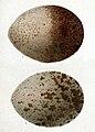 Aegypius monachus eggs 1853.jpg