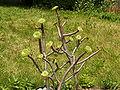 Aeonium arboreum-PICT3861.jpg