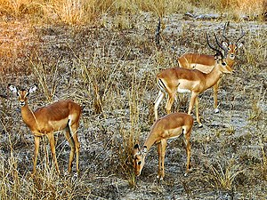 Impalaen am South Luangwa Nationalpark