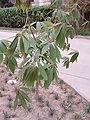 AesculusChinensis.jpg