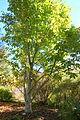 Aesculus indica - Quarryhill Botanical Garden - DSC03565.JPG