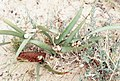 Aestivating snails. Great bustard plain near Tarifa. 1975 (37086645013).jpg