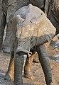 African Elephant (Loxodonta africana) calf (32175172292).jpg