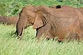 African Elephant (Loxodonta africana) female (16733955175).jpg