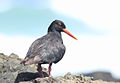 African Oystercatcher or African Black Oystercatcher, Haematopus moquini (13171478824).jpg