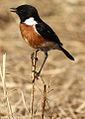 African Stonechat, Saxicola torquatus at Rietvlei Nature Reserve, South Africa (10055149226).jpg