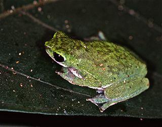 <i>Nectophryne</i> genus of amphibians