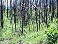 After fire regrowth Bad Land Cliffs, Jun 2014 02.jpg