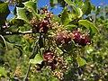 Agalla en Flor de Quercus coccifera (14099300645).jpg
