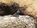 Agama atra male IMG 4845.JPG