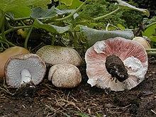 Agaricus subrufescens