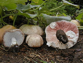 Description de l'image Agaricus_subrufescens.jpg.