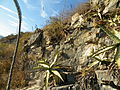 Agave xylonacantha (5777332340).jpg