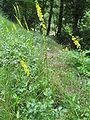 Agrimonia eupatoria 01.jpg
