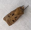 Agrotis exclamationis. Heart and Dart - Flickr - gailhampshire.jpg
