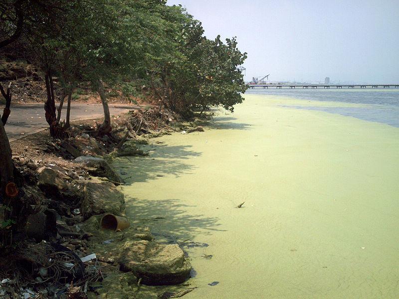 Archivo:Aguas del lago de Maracaibo contaminadas por Lemna 03.JPG