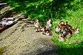 Aix galericulata (Küken) - Nymphenteich Zürichhorn 2013-06-12 16-35-24.JPG