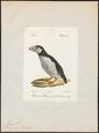 Alca arctica - 1842-1848 - Print - Iconographia Zoologica - Special Collections University of Amsterdam - UBA01 IZ17800127.tif