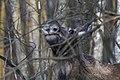 Alces alces 20(js), Biebrza National Park (Poland).jpg