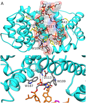 AlkD -  AlkD (green) recognizes DNA (multi-coloured) through HEAT repeat motifs.