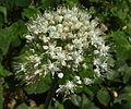Allium tuberosum odoratum juliol.JPG