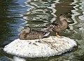 Almost fledged mallards (48685582506).jpg