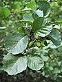Alnus glutinosa Olsza czarna 2019-08-03 02.jpg