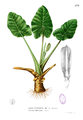Alocasia montana Blanco1.177.png