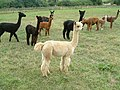 Alpacas near Horley - geograph.org.uk - 1092729.jpg