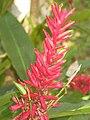 Alpinia purpurata2.JPG