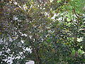 Alpinia purpurata 0001.jpg