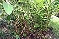 Alpinia purpurata 18zz.jpg