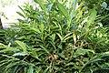 Alpinia purpurata 41zz.jpg
