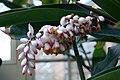 Alpinia zerumbet 10zz.jpg