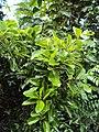 Alseodaphne semecarpifolia 20.JPG