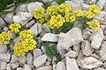 Alyssum ovirense (Obir-Steinkraut) IMG 0722.jpg