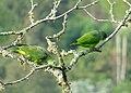 Amazona mercenaria (Lora andina) - Flickr - Alejandro Bayer (6).jpg