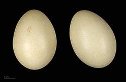 Des œufs de canard amazonette.