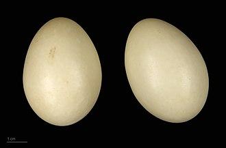 Brazilian teal - Amazonetta brasiliensis - MHNT