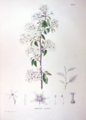 Amelanchier canadensis SZ42.png