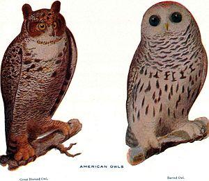 American Owls