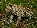 American Toad (30222796738).jpg