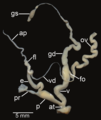 Amphidromus roseolabiatus reproductive system.png